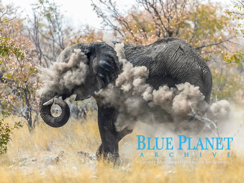An elephant (Loxodonta africana) throws dust on to protect itself from the sun during noon, Etosha National Park, Namibia, Africa