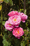 ROSA JOHN CLARE, ENGLISH ROSE BY DAVID AUSTIN
