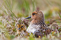Adult male Spoon-billed Sandpiper and chick at nest. Chukotka, Russia. July.