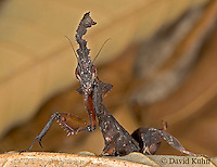 "0314-07qq  Ghost Mantis - Phyllocrania paradoxa ""Male Nymph"" - © David Kuhn/Dwight Kuhn Photography"