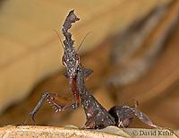 "0314-07qq  Ghost Mantis - Phyllocrania paradoxa ""Male Nymph"" - © David Kuhn/Dwight Kuhn Photography"
