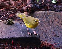 Juvenile mourning warbler in fall migration
