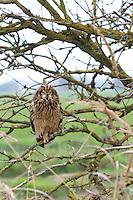 Sumpfohreule, Sumpf-Ohreule, Asio flammeus, short-eared owl, Short Eared Owl