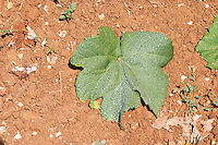 Vine leaf on sandy soil. Zilavka local grape variety. Vita@I Vitaai Vitai Gangas Winery, Citluk, near Mostar. Federation Bosne i Hercegovine. Bosnia Herzegovina, Europe.
