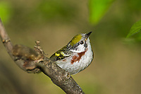 Chestnut-sided warbler (Dendroica pensylvanica) female rests in mixed forest along Lake Erie shoreline near Canada and USA border during annual spring migration northward to summer breeding grounds. Some 46% of Chestnut-sided Warblers in North America nest in Canada's boreal forest.