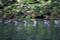 Harlequin duck drake takes flight, Prince William Sound, Alaska
