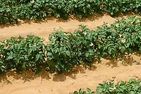 EGYPT, Farafra, potato farming in the desert, irrigation with Pivot circle irrigation, the fossile groundwater from the Nubian Sandstone Aquifer is pumped from 1000 metres deep wells  / AEGYPTEN, Farafra, United Farms, Kartoffelanbau in der Wueste, die kreisrunden Felder werden mit Pivot Kreisbewaesserungsanlagen mit fossilem Grundwasser des Nubischer Sandstein-Aquifer aus 1000 Meter tiefen Brunnen bewaessert