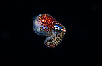 Berry's Bobtail squid, Euprymna berryi