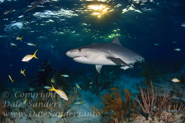 Tiger Shark (Galeocerdo cuvier) swims past an underwater photographer in the Bahamas at sunset.