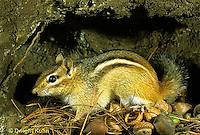 MA02-044c   Chipmunk - eastern with seeds in nest underground - Tamias striatus
