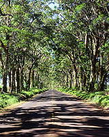 Tree tunnel on Kauai's south shore.