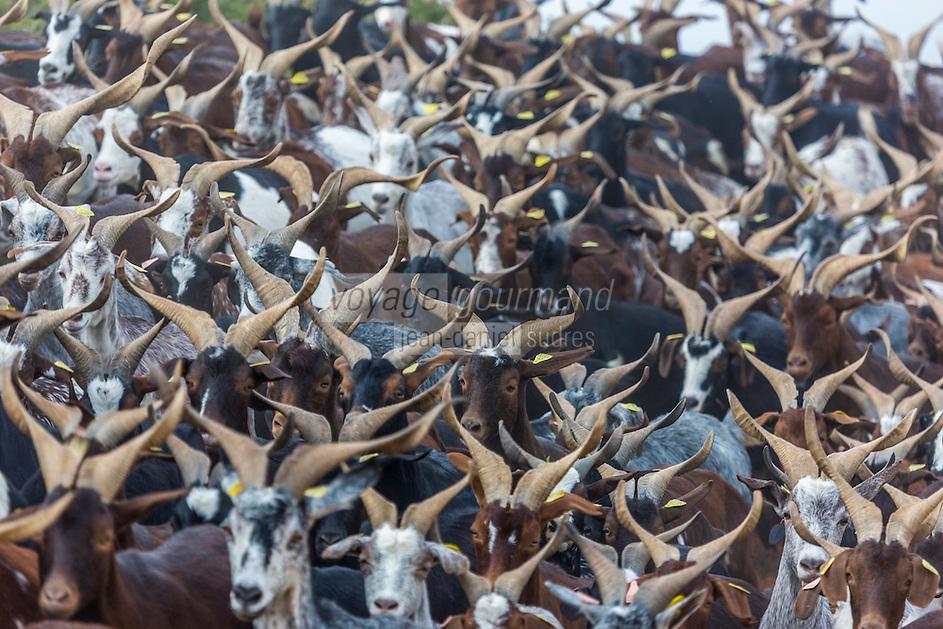France, Bouches-du-Rhône (13),env de  Marseille, Le Rove:  Le troupeau  de Chêvres du Rove ,  d'André Gouiran, éleveur de chèvre du Rove et producteur de brousse du Rove  //  France, Bouches du Rhone, near Marseille:    Herd of goats Rove André Gouiran, Rove goat breeder and producer of  of  the Real Rove Brousse, pure goat cheese  <br /> AUTO N 2013-150