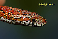 1R22-622z  Corn Snake, Banded Corn Snake, Elaphe guttata guttata or Pantherophis guttata guttata, close-up of head and eye