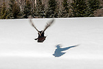 Eastern wild turkey released back into the wild in Maine after receiving leg bands, having blood drawn, legs, beard, spur and feathers measured and each animal was weighed.