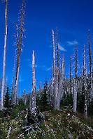 Standing Dead Trees Near Ryan Lake, Mt. St. Helens National Volcanic Monument, Washington, US