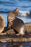 La Jolla, California; a very small, juvenile California sea lion pup basking in early morning sunlight, while resting on the rocky shoreline along the Pacific Ocean