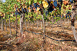 Washington State's Yakima Valley, with 300 days of sunshine per year sports some of the finest vineyards in the state.  Rattlesnake Hills AVA shares hillsides and valley with traditional orchard crops.