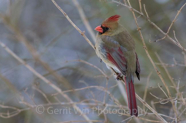 Adult female Northern Cardinal (Cardinalis cardinalis). Tompkins County, New York. February.
