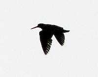 Black Oystercatcher AK