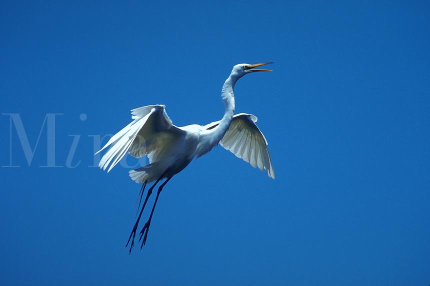 Great Egret vocalizing in flight, Florida