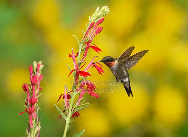 Ruby-throated Hummingbird (Archilochus colubris), adult male in flight feeding on Cardinal flower, New Braunfels, Central Texas, USA