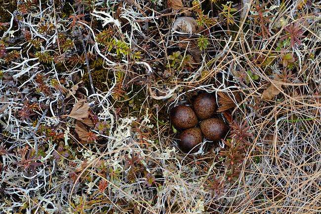 Nest and eggs of a Western Sandpiper (Calidris mauri). Yukon Delta National Wildlife Refuge, Alaska. June.