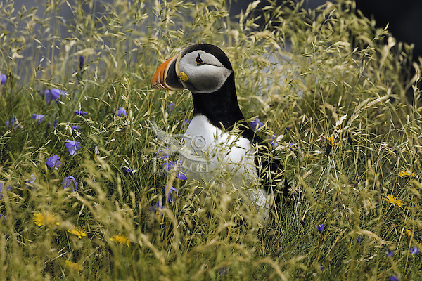 Atlantic Puffin (Fratercula arctica) in breeding plumage, July. These North Atlantic seabirds come to land every year for about 4 months to burrow and raise their young on grassy cliffs and offshore islands, here along the eastern coast of Newfoundland, Canada.