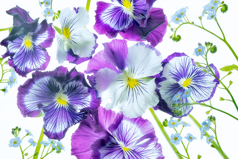 Wooping purple whiskers and blue Water Forget Me Not arrangement. Oregon