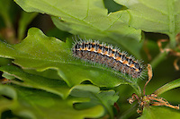 Heide-Grünwidderchen, Dunkles Grünwidderchen, Schlehen-Grünwidderchen, Raupe, Rhagades pruni, burnet, caterpillar, Zygaenidae, Blutströpfchen, Widderchen, burnets, forester moths