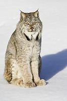Canada Lynx sitting on the snow - CA