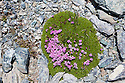 Moss Campion {Silene acaulis} growing on scree slope at 2800 metres altitude. Aosta Valley, Monte Rosa Massif, Pennine Alps, Italy. July.