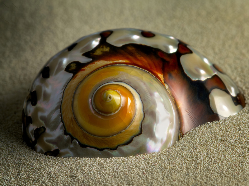 Close up of Turbo Semanticus sea shell.