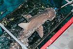 Bonnethead shark being fed at the New England Aquarium in Boston.