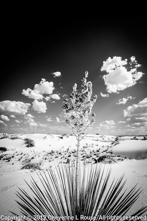 High Noon Yucca - New Mexico - White Sands National Monument