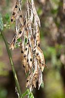 Gemeiner Goldregen, Früchte mit Samen, Hülsen, Bohnenbaum, Goldrausch, Gelbstrauch, Laburnum anagyroides, Syn. Cytisus laburnum, Common Laburnum, Golden Chain, Golden Rain