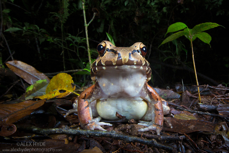 Smoky Jungle Frog {Leptodactylus savageii /pentadactylus} next to its burrow on the rainforest floor at night. Central Caribbean foothills, Costa Rica. May.