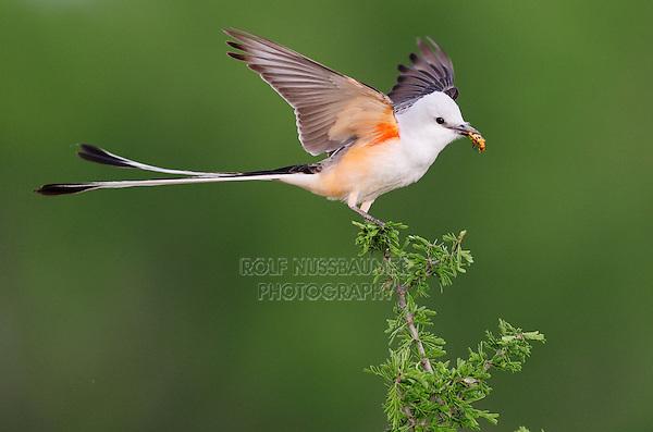 Scissor-tailed Flycatcher (Tyrannus forficatus), adult male landing on perch with beetle prey, Laredo, Webb County, South Texas, USA