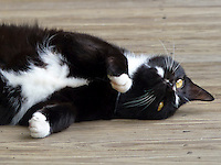 BLack and white kitten lying on the floor ready to play
