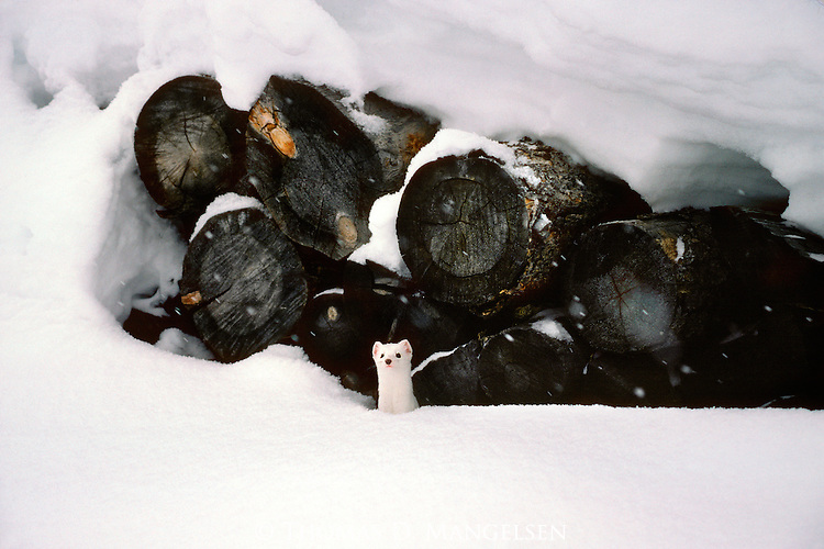 A carefully stacked woodpile becomes the favored den site for a sleek ermine in its winter-white coat in Jackson Hole, Wyoming.