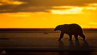 A golden sunrise greeted us as we approached a spit of land off the coast of Kaktovik one morning.  Just as the sun came up, this mother Polar Bear crossed in front of us, offering a lovely silhouette and some rim lighting.  Kaktovik, Alaska.
