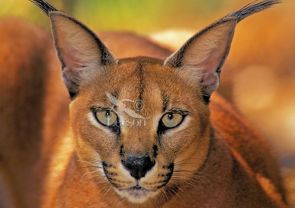 CARACAL..Africa, Arabia, Middle East to Pakistan..(Felis caracal).
