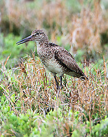 Adult willet in breeding plumage calling near its nest. We never saw the nest but the bird thought we were too close and complained loudly and continously.