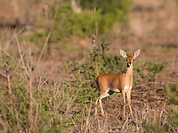 The steenbok is the smallest antelope found in the South African bush.