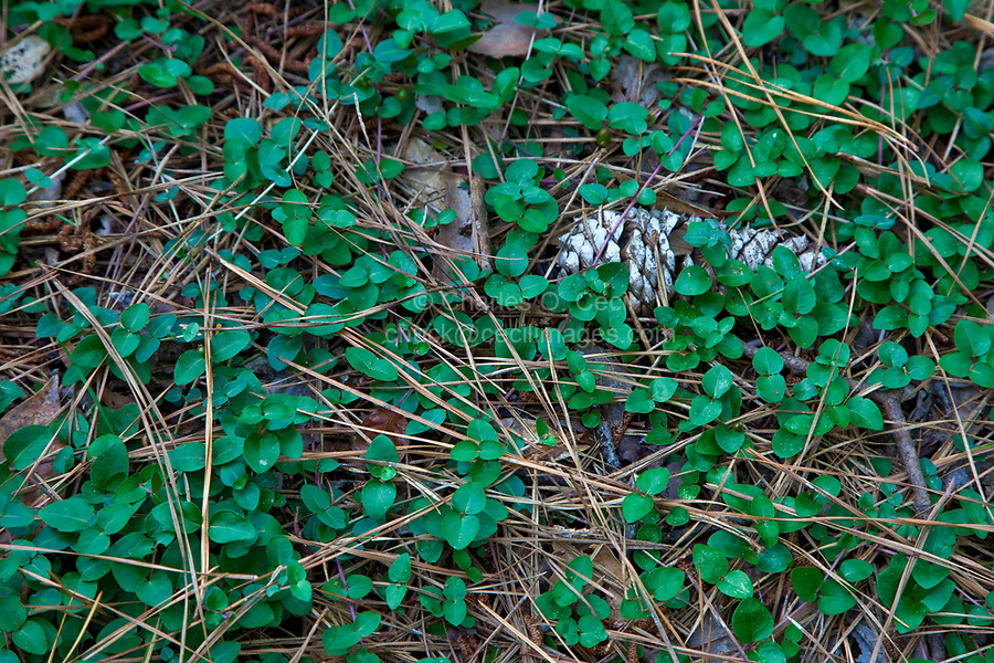 Nags Head Woods, a Nature Conservancy Preserve.  Nags Head, North Carolina.  Pine Cone on Forest Floor.