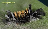 LE44-510z  Milkweed Tiger Moth Caterpillar on milkweed leaves, Euchaetias egle