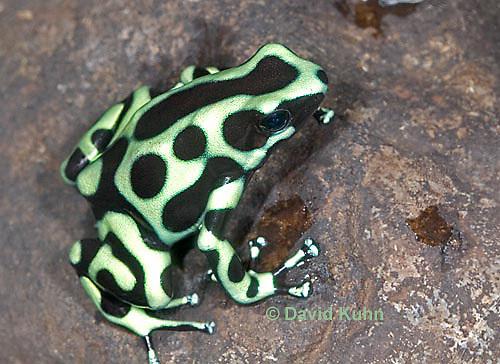 0930-07mm  Dendrobates auratus ñ Green and Black Arrow Frog ñ Green and Black Dart Frog  © David Kuhn/Dwight Kuhn Photography