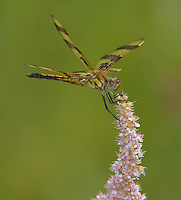 Halloween Pennant (Celithemis eponina) Dragonfly - Juvenile Male, Ward Pound Ridge Reservation, Cross River, Westchester County, New York