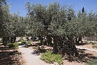 Asie/Israël/Judée/Jérusalem: Oliviers au jardin de Gethsémanie