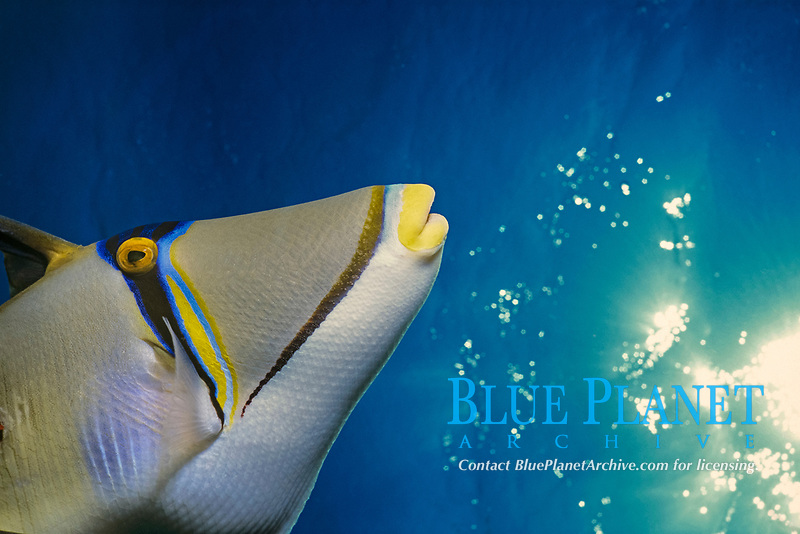 Picasso Triggerfish (Rhinecanthus assisi). Egypt - Red Sea