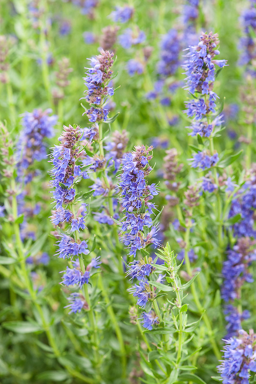Hyssop (Hyssopus officinalis), a perennial herb native to the Mediterranean.